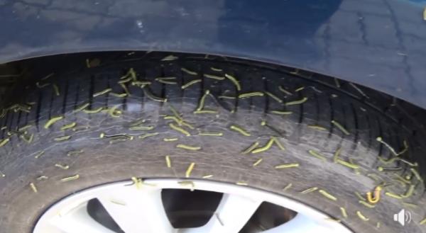 數不清的毛毛蟲在輪胎上蠕動。(圖擷取自爆料公社)