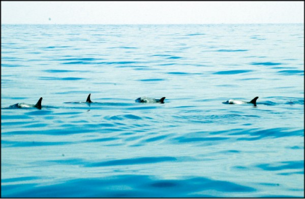 成群的花紋海豚從海上探出頭來。(記者許麗娟/攝影)