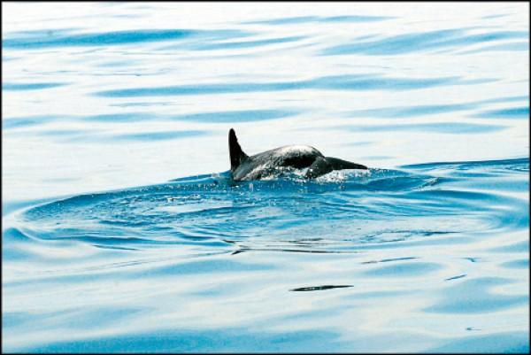 出海賞鯨這天喜遇身上有白色斑紋的花斑海豚,俏皮地在海面上忽起忽落。(記者許麗娟/攝影)