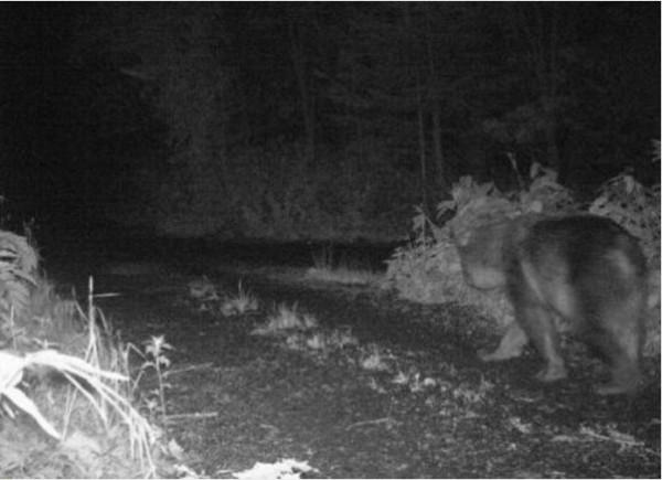 官方架設的相機日前拍攝到在利尻島上趴趴走的棕熊的身影。(圖擷取自網路)