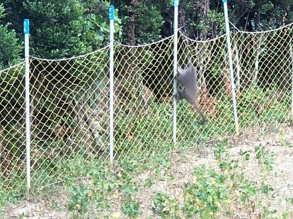 滿州近半年猴害嚴重,圍網無法阻止。(記者蔡宗憲翻攝)