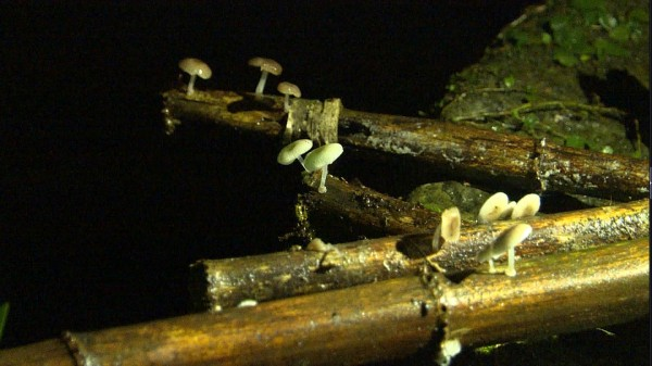 螢光蕈通常長在潮濕枯竹上。(記者王秀亭翻攝)