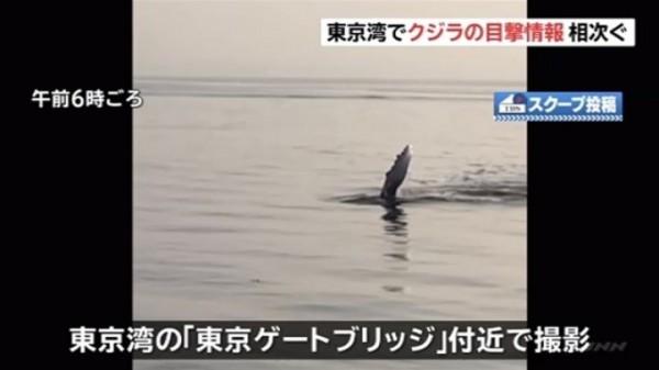 日本東京灣海面出現身長約15公尺的不明海怪,疑似是鯨魚但尚未確定。(圖擷自@populus1q3推特)