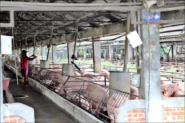 農委會決定今年七月「拔針」,不再施打豬隻口蹄疫苗,拔針1年後若疫情不再復發,台灣就能回歸非疫區,最快2020年就能打開活體豬隻外銷大門。(資料照)