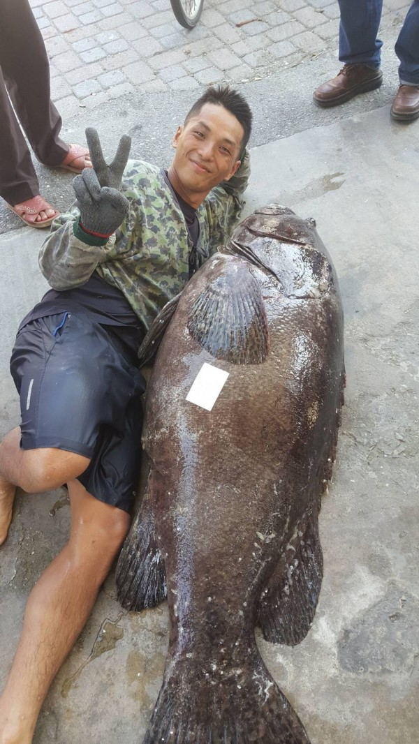 收網最後一天,重達72公斤、如成人身高般的龍膽石斑意外入網,漁民樂開懷。(記者陳賢義翻攝)