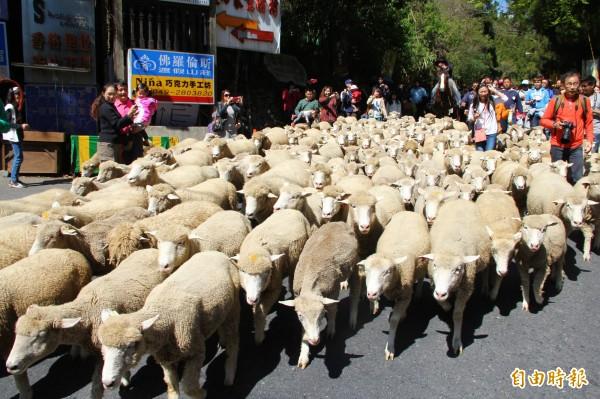 清境農場目前只飼養綿羊,沒有山羊,每年場慶奔羊節,還有綿羊大軍走上公路與遊客互動。(資料照,記者佟振國攝)