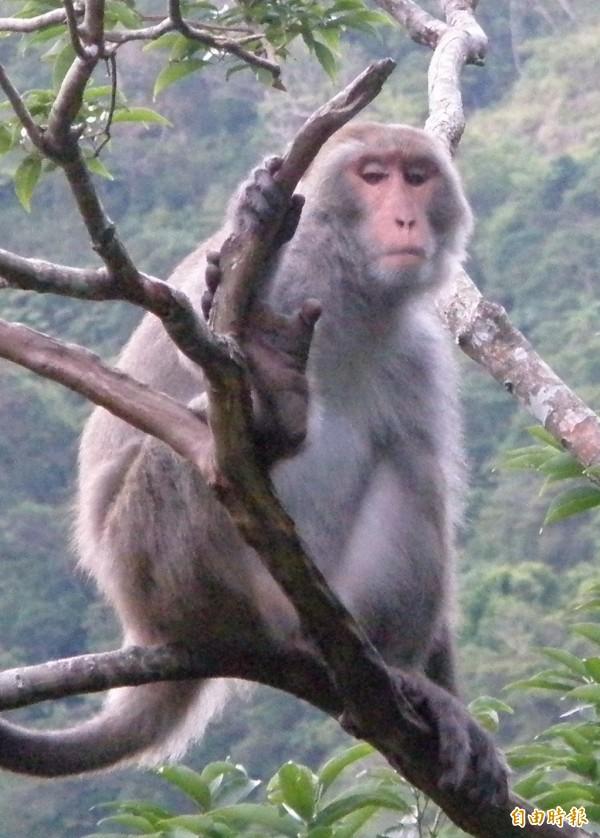 林務局今天決議,台灣獼猴將由保育類野生動物改列為一般野生動物。(資料照,記者黃明堂攝)