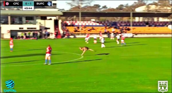 澳洲坎培拉一頭雄性東方灰袋鼠24日亂入女子足球賽。(路透)