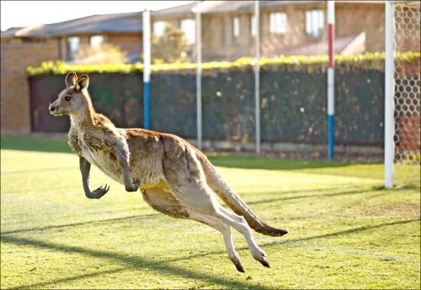澳洲坎培拉一頭雄性東方灰袋鼠24日亂入女子足球賽。(美聯社)