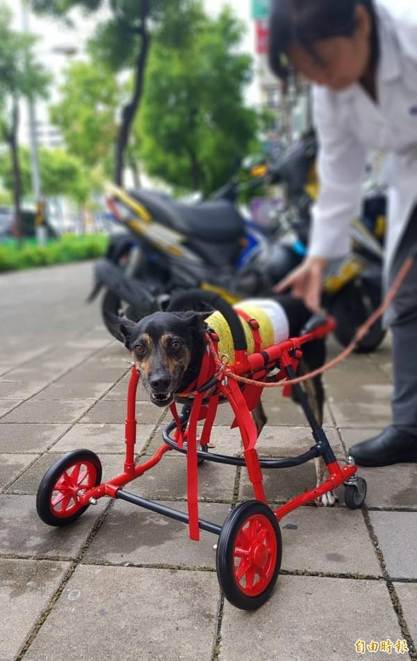 「太陽餅」搭乘車輪椅開心奔跑,令人感動。(記者陳文嬋攝)