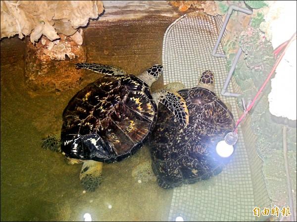 澎湖大義宮飼養保育類海龜。(記者劉禹慶攝)