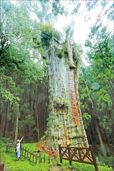 水山巨木為樹齡約2,700年的紅檜,樹幹雄偉筆直、氣勢磅礡。(記者李惠洲/攝影)