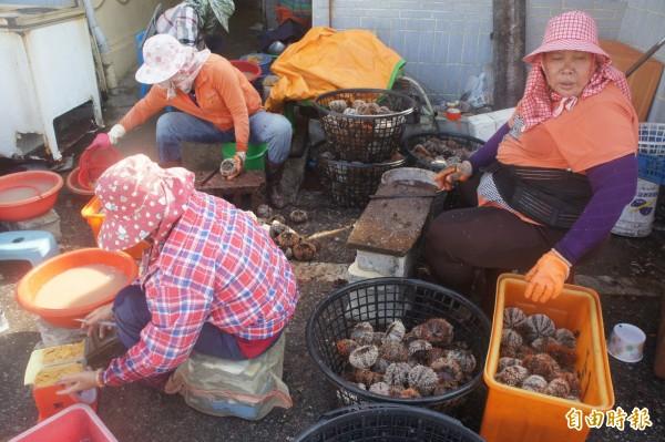 今年澎湖馬糞海膽開採首日,收穫數量大不如前。(記者劉禹慶攝)