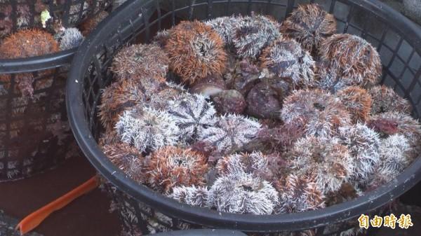 今年馬糞海膽開採首日,未如往年爆量出現警訊。(記者劉禹慶攝)