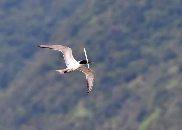 頭城大溪漁港一隻鳳頭燕鷗嘴部卡管,若妨礙進食,性命危在旦夕。(圖由拍鳥俱樂部吳姓鳥友提供)