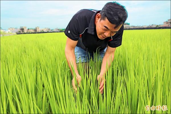 新農人蘇程隆以有機農法種米,躋身「百萬青農」。(記者萬于甄攝)