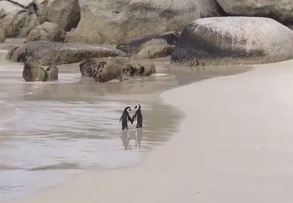 南非一對企鵝在海灘牽手散步,網友全被閃瞎。(圖擷自推特)