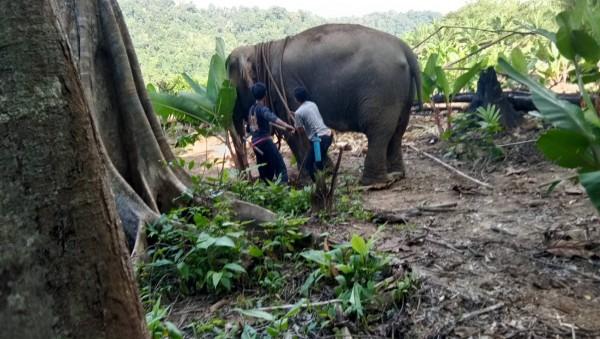 踩死人的大象已被尋獲。(圖擷自臉書)