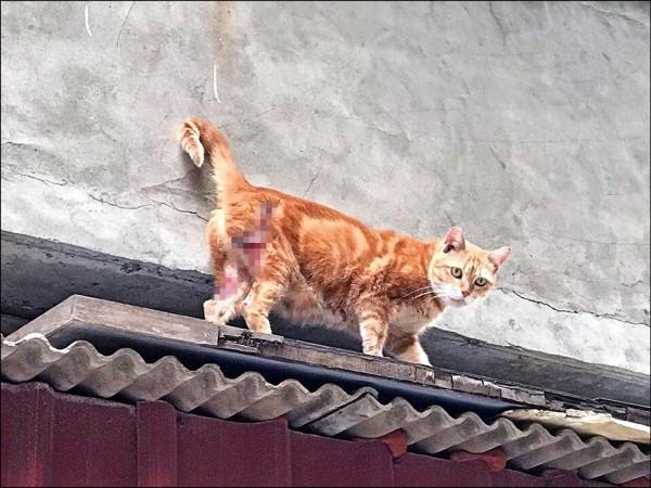 TNR協會6月收到貓隻受傷資訊,發覺確有貓隻受傷。 (TNR協會提供)