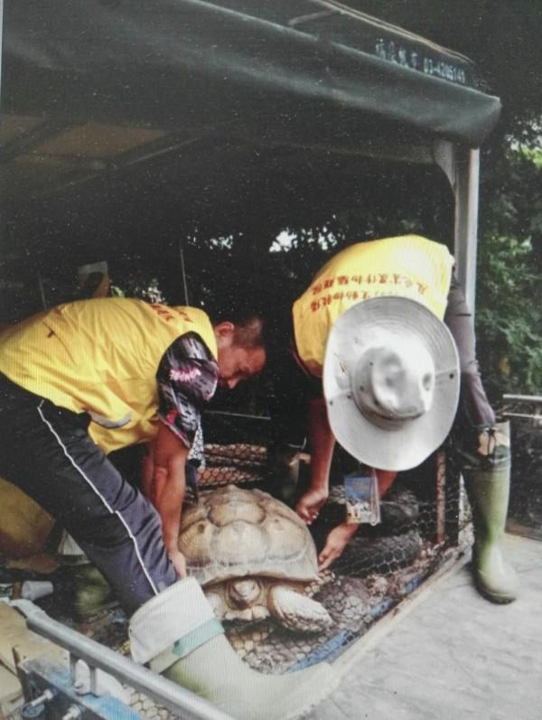 罕見的非洲蘇卡達象龜由保育人員帶往六福村安置。(記者黃美珠翻攝)