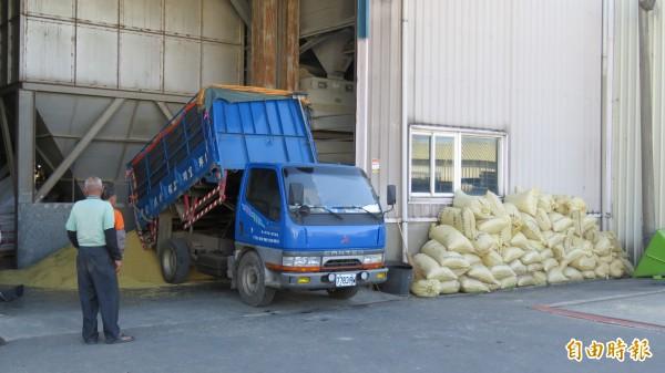 颱風來襲,農民搶收一期水稻,平鎮區農會倉庫接近「爆倉」,湧入大量稻穀。(記者許倬勛攝)