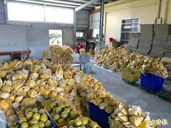 農民將採收的高接梨堆滿倉庫。(記者張軒哲攝)