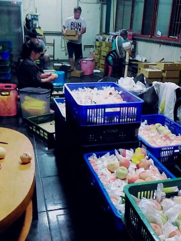新竹縣尖石鄉果農白天搶收水蜜桃,晚上熬夜裝箱。(賴明惠提供)