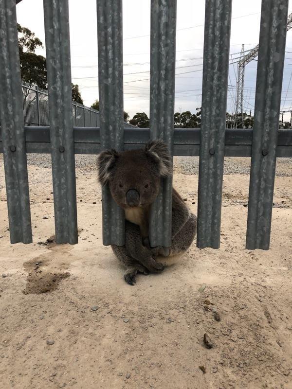 近期澳洲有民眾發現一隻卡在柵欄的無尾熊,牠露出無奈的表情意外引起討論。(圖擷取自南澳電網公司推特)