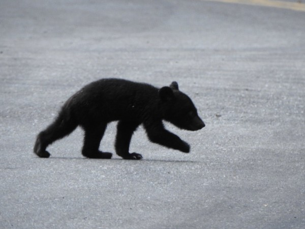 在卓溪鄉南安瀑布週邊「趴趴造」的小黑熊,沒有媽媽陪身邊,今天下午卻獨自爬上台30線公路,有許多遊客都有目擊。(林慧美老師提供)