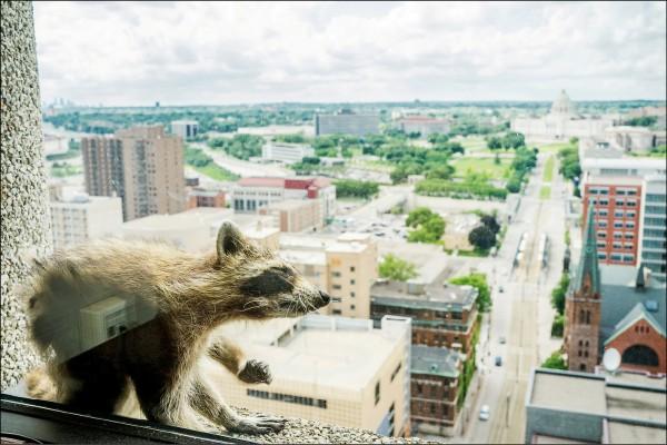 上月在美國明尼蘇達州聖保羅市「瑞士銀行廣場」摩天大樓上演的浣熊登高記,成功吸引全美目光。(路透)