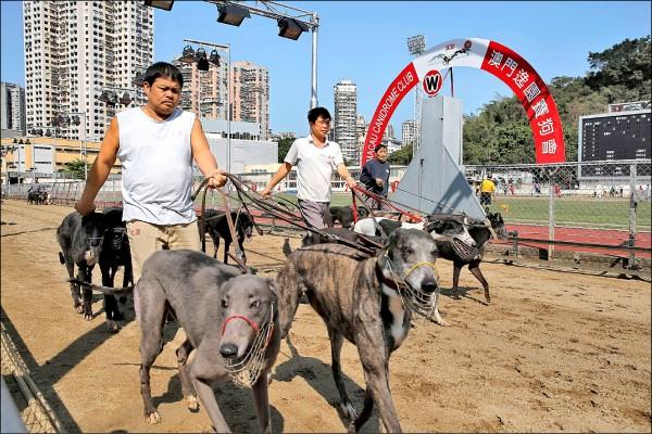三月十一日幾隻格力犬在賽道上溜達。(美聯社檔案照)