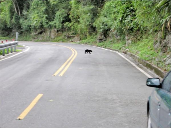 出現在花蓮卓溪鄉南安瀑布的台灣黑熊幼熊,疑似找不到媽媽,昨天下午4點左右居然爬上台30線公路。(讀者提供)