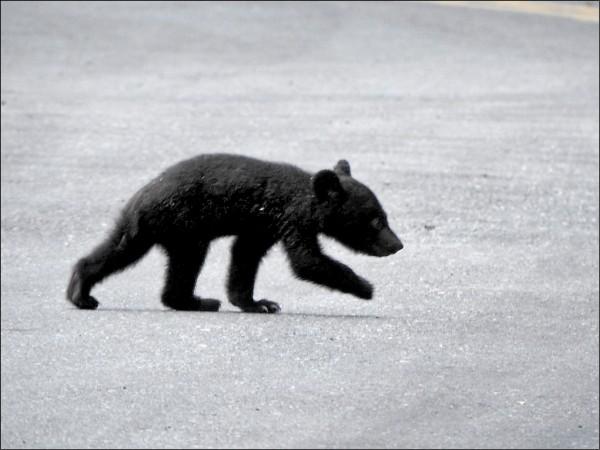 小黑熊逛馬路,許多遊客都有目擊。(讀者提供)