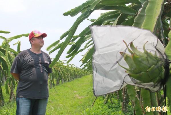 陳勝得離開果菜市場送貨員工作,返鄉栽種火龍果。(記者陳冠備攝)