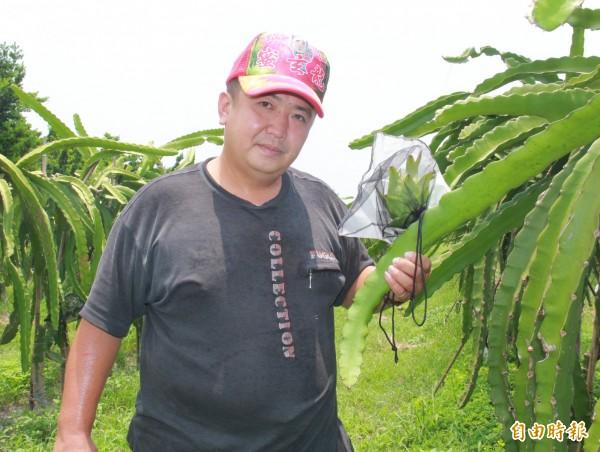 陳勝得堅持每株母株只留2至3顆果實,才能種出高品質火龍果。(記者陳冠備攝)