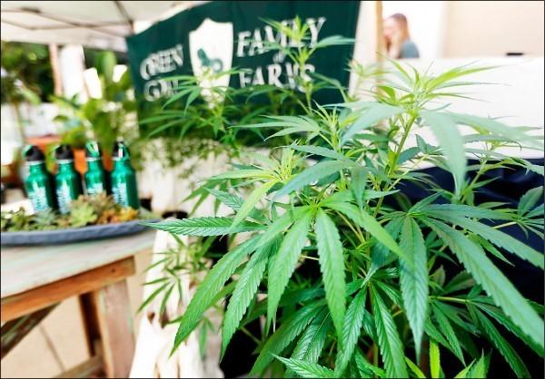 法國擬推大麻合法化,國內菸草商店全力競逐販售權。(美聯社檔案照)