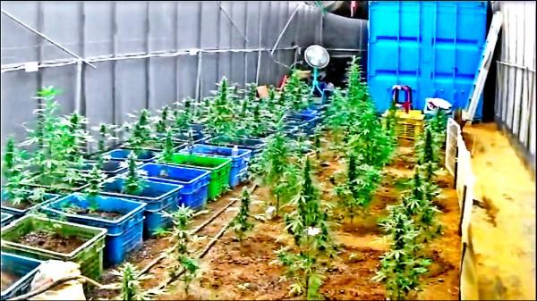 青農黃國維利用溫室,偷偷種植大麻。(記者邱俊福翻攝)