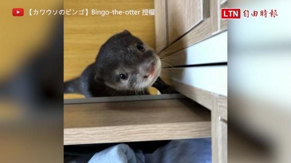 日本一隻3個月大的水獺Bingo,因為圓滾滾大眼加上超可愛笑臉,擄獲大批網友的芳心。(圖片由Bingo_the_otter授權提供使用)