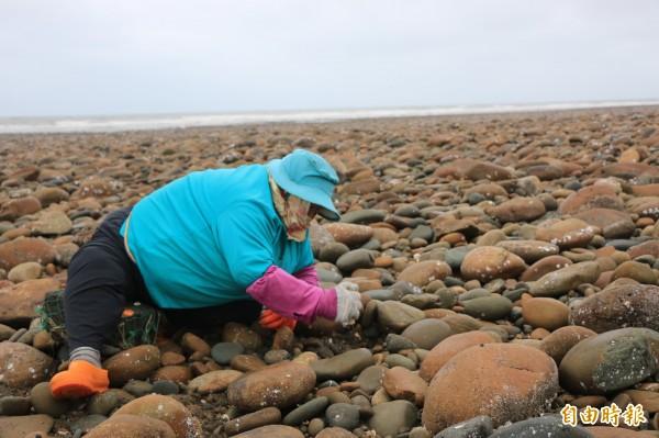 附近仍有漁民每天到石滬附近撿拾海瓜子等貝類。(記者鄭名翔攝)