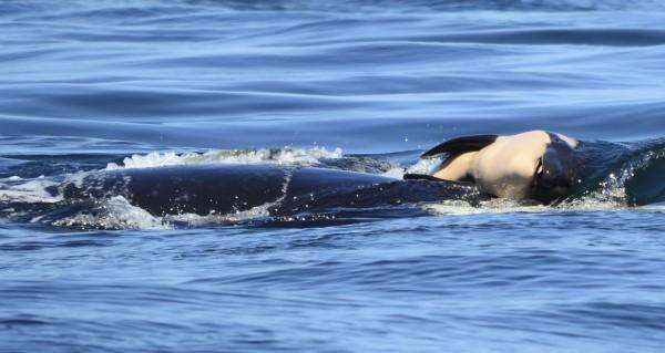 虎鯨媽媽為了不讓死亡的幼鯨寶寶沉入海底,連續5天不斷用前額推著夭折的幼鯨。(美聯社)