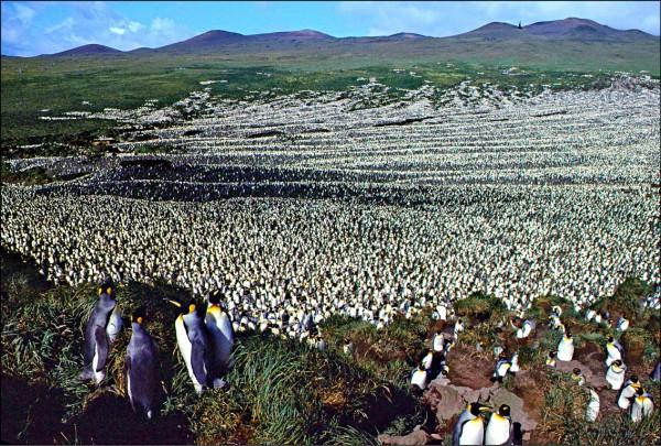 全球最大國王企鵝棲息地—印度洋科雄島上的國王企鵝已銳減到二十萬隻,原因不明。圖為研究人員公布一九八二年拍攝該島的國王企鵝。(法新社)