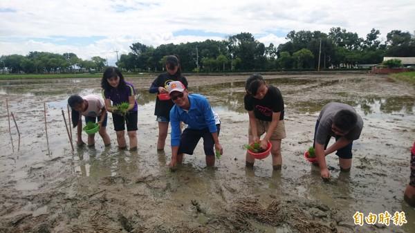 後壁新東國小年底將舉辦80週年校慶,40多位師生今天插秧趣,在學校實驗田種下校慶米。(記者楊金城攝)