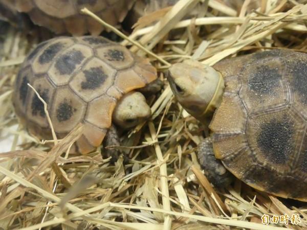 金門查緝隊截獲的保育龜之一。(記者吳正庭攝)