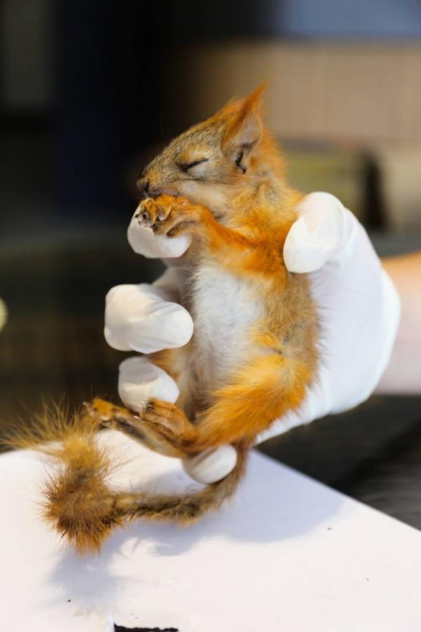 查緝幹員發現的歐亞紅松鼠,外型嬌小,一隻手即可掌握。(圖由金門縣政府提供)