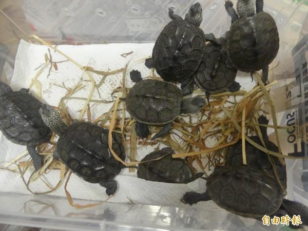 查獲的龜類有的仍十分具有活動力。(記者吳正庭攝)