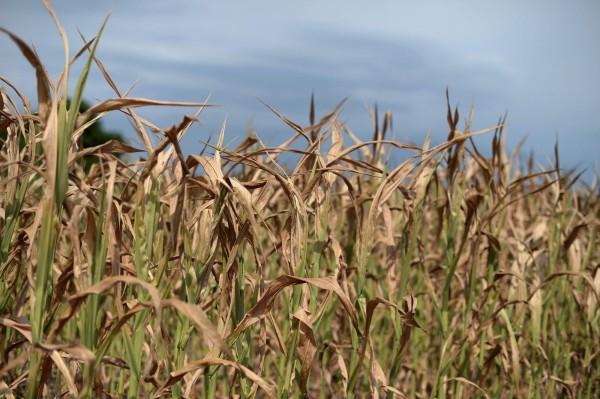 2名來自中國的農業研究人員,本月3日被美國阿肯色州檢察官宣布吃上官司,聯邦陪審團控告他們剽竊美國的水稻專利技術,將之帶回中國發展醫藥科學,他們的2名在美中國籍幫兇已經判刑確定。(法新社)