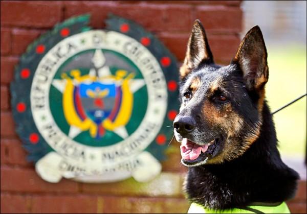 哥倫比亞犯罪組織重金懸賞緝毒犬「黑影」的狗命。(美聯社檔案照)