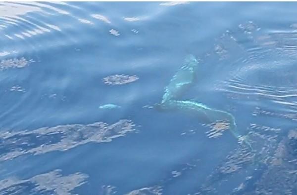 花紋海豚搶玩塑膠袋。(成功海洋環境教室提供)