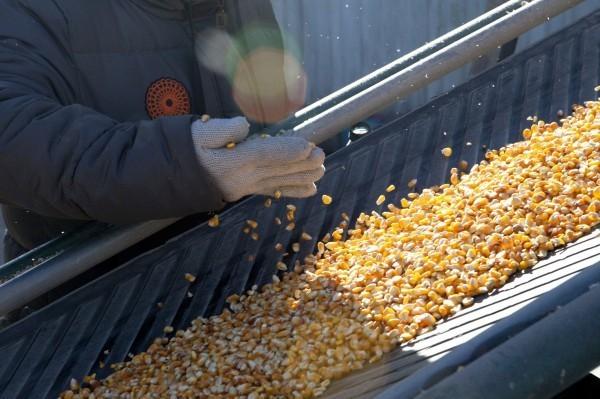 中國徹查全國儲糧時,儲藏大量玉米的吉林糧倉突然燒毀。圖為中國玉米處理廠。(彭博)