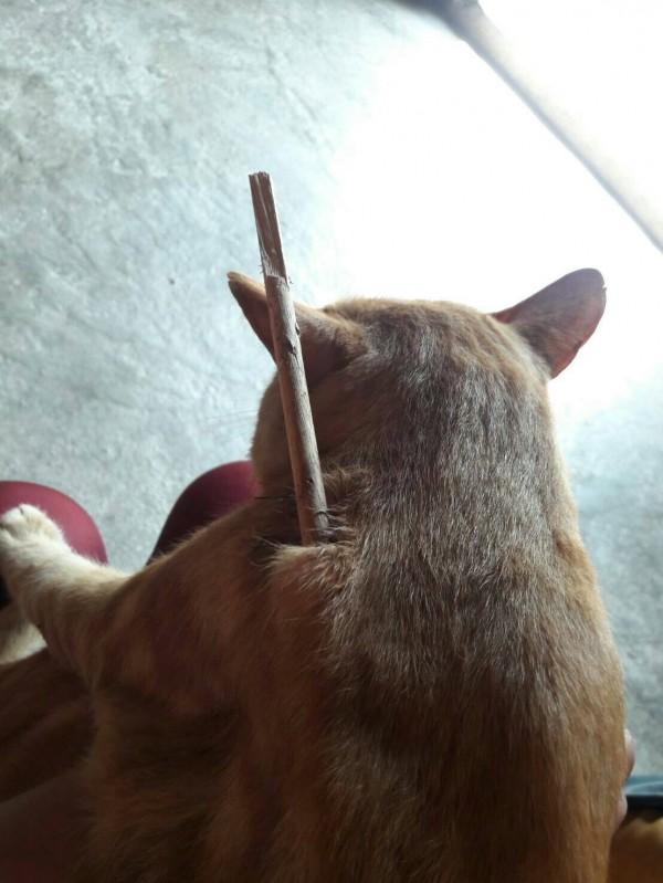貓咪「橘子」回家後不斷哀嚎,主人一看,牠身上插著一支箭。(記者彭健禮翻攝)